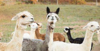 The Family Farm – Alicia Adams